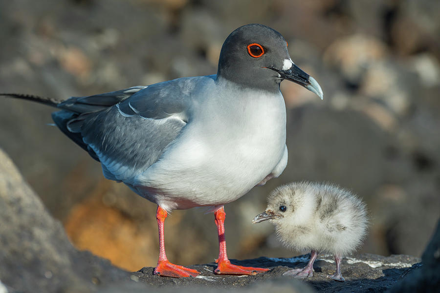 Swallow-tailed Gull With Chick Photograph by Tui De Roy