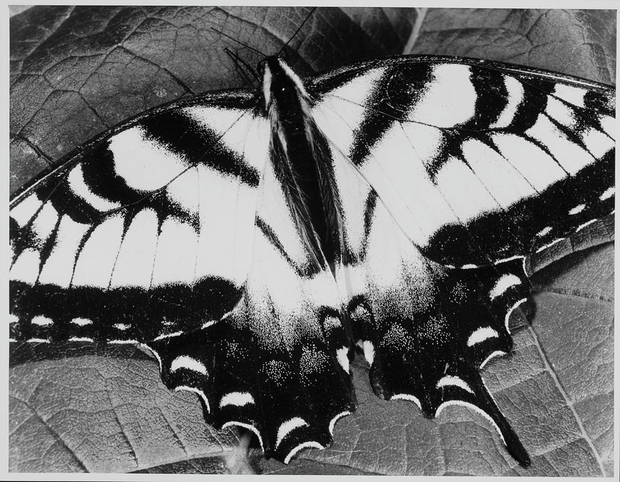 Swallowtail Butterfly Photograph by Andreas Feininger