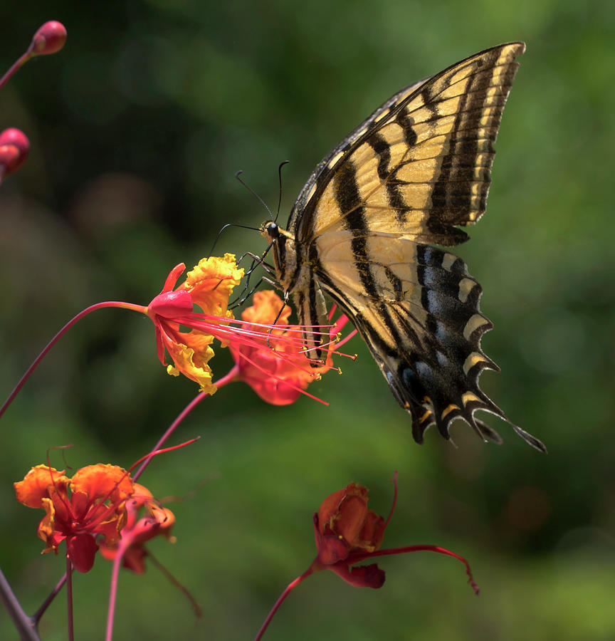 Swallowtail Butterfly Photograph - Swallowtail butterfly by Mark Langford