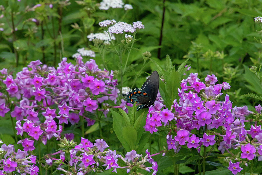 Swallowtail Butterfly by Natural Vista Photo