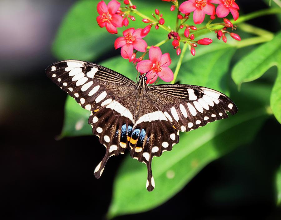 Swallowtail Butterfly On Pink Flowers  by Saija Lehtonen