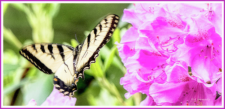 Swallowtail Butterfly, Rhododendran Flowers by A Gurmankin