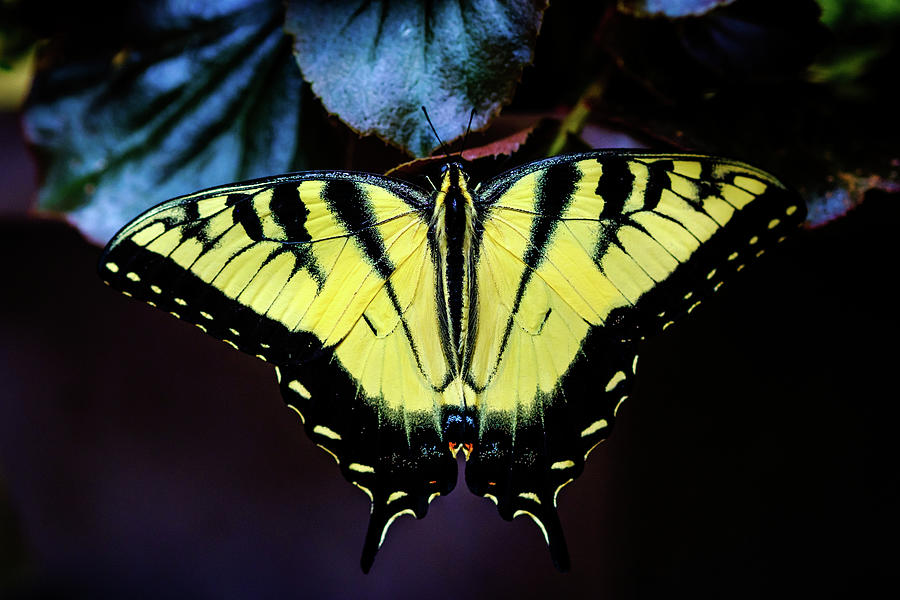 Swallowtail Butterfly Summer by Glenn DiPaola