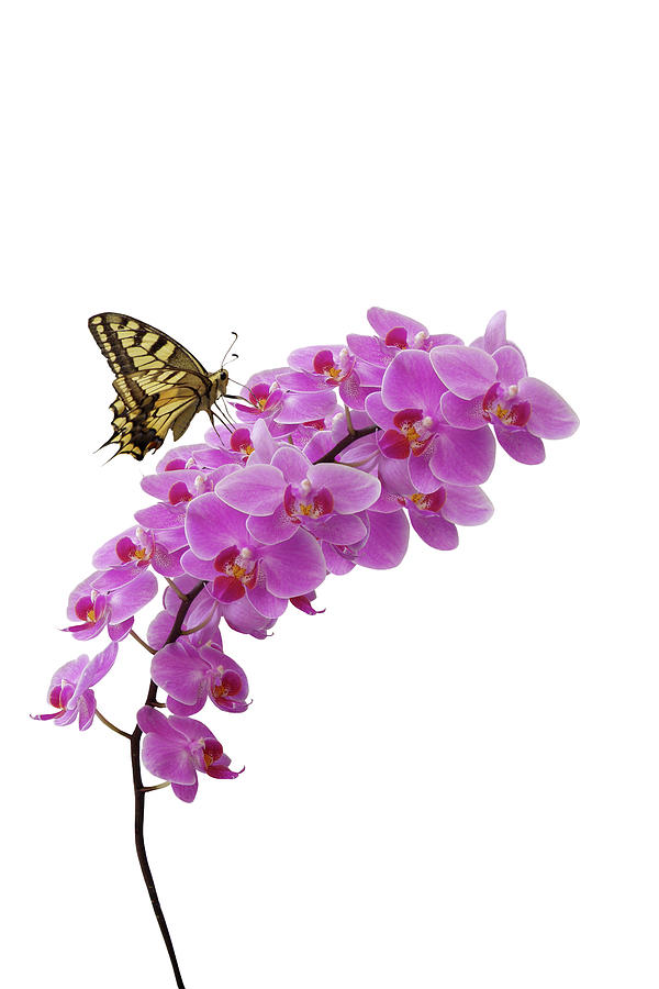 Swallowtail Butterly On Orchid Photograph by Photographerolympus