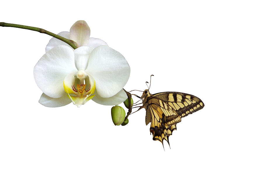 Swallowtail On White Orchid Photograph by Photographerolympus