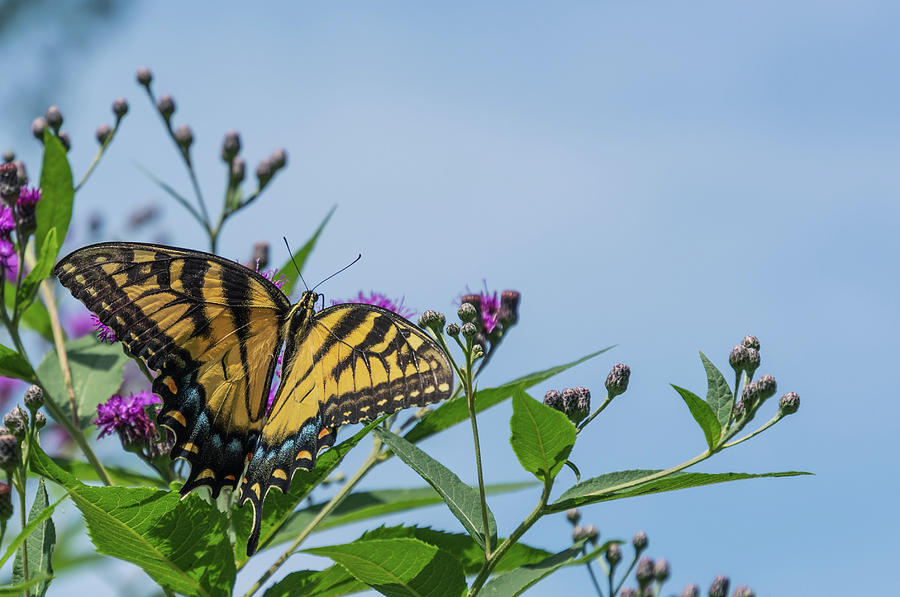 Swallowtail Perched Photograph