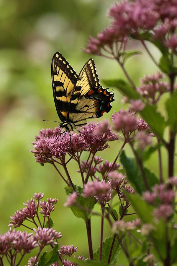 Swallowtail Sweetness by Rachel Morrison