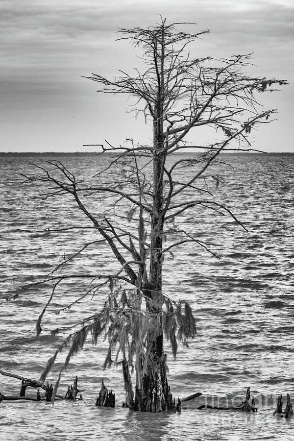 Swamp Cypress Photograph