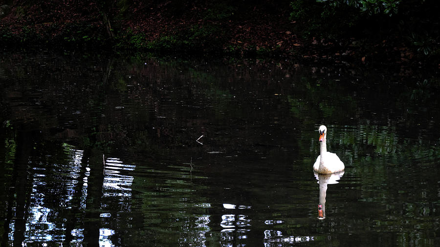 Swan 1 by George Taylor