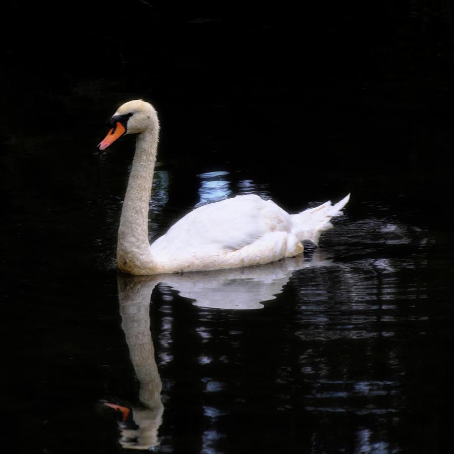 Swan 3 by George Taylor