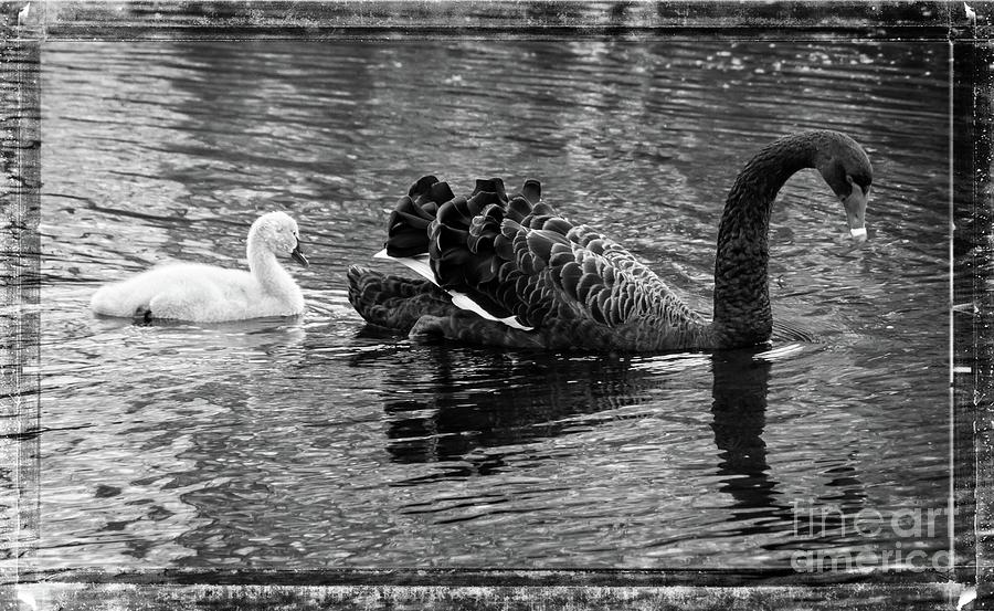 Swan and signet by Fran Woods