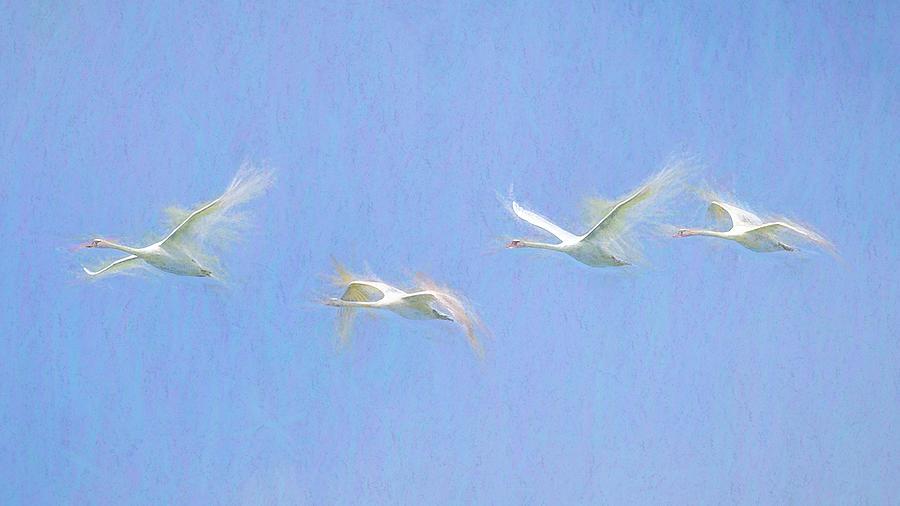 Swan Art Panorama  by David Pyatt