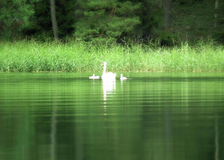Swan Family In A Peaceful Sea Bay  by Johanna Hurmerinta