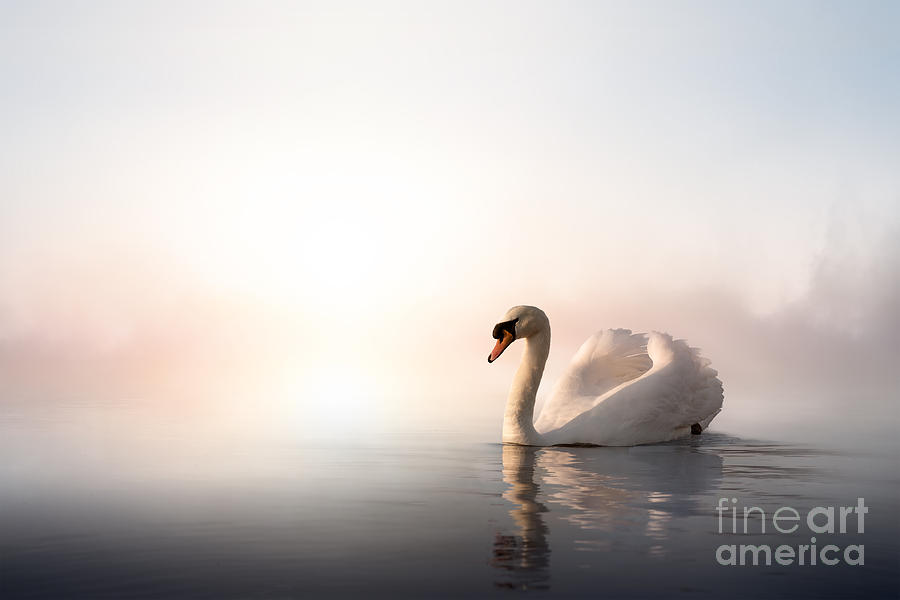 Love Photograph - Swan Floating On The Water At Sunrise by Konstanttin
