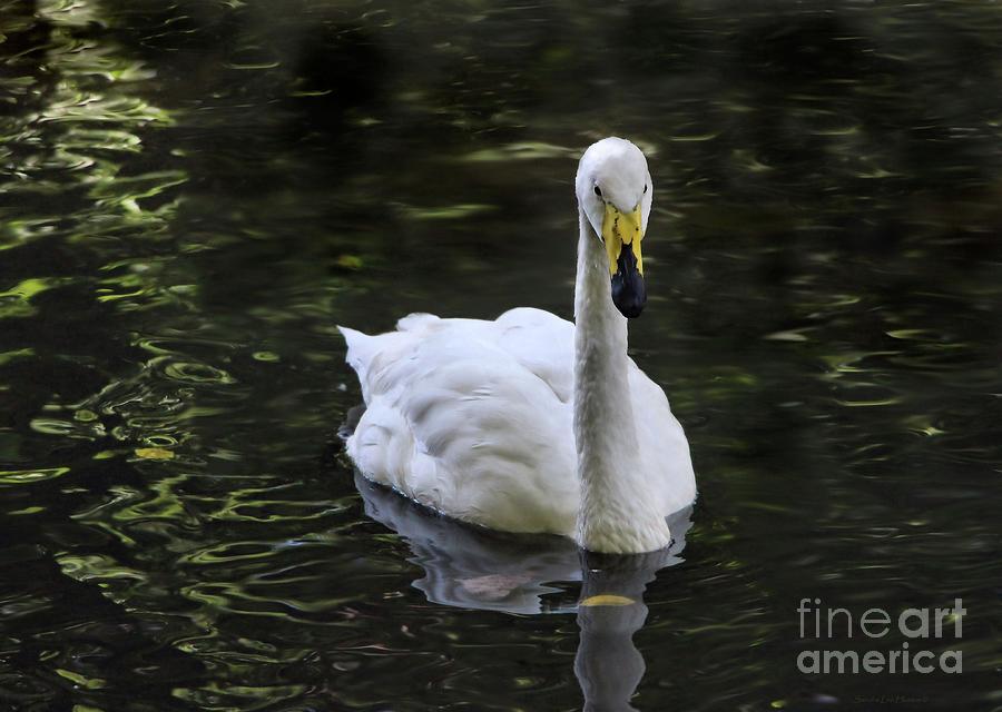 Swan Greeting in the Bronx by Sandra Huston