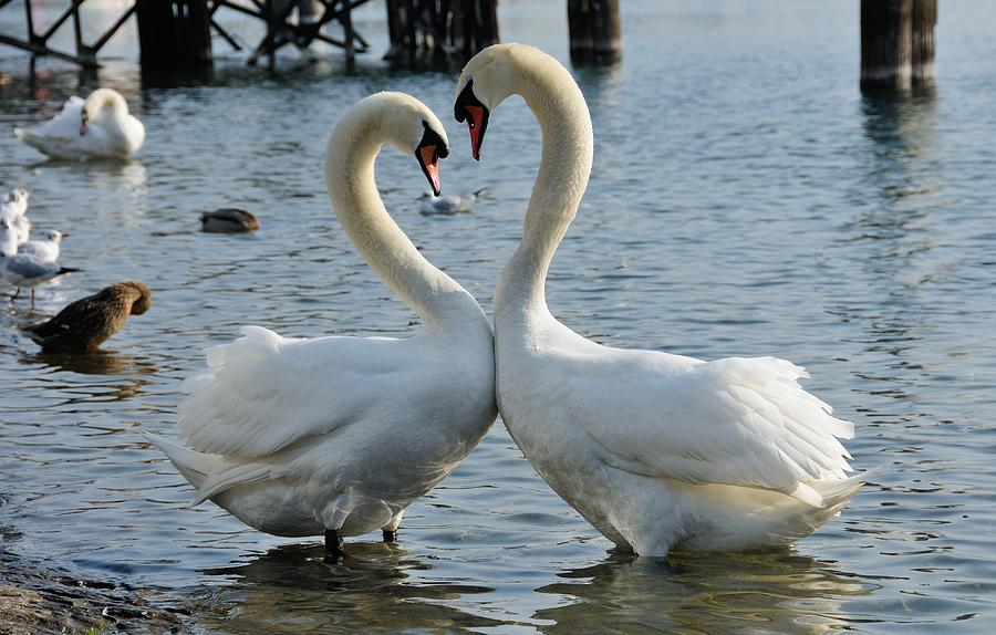 Swan Heart Photograph by Werner Büchel