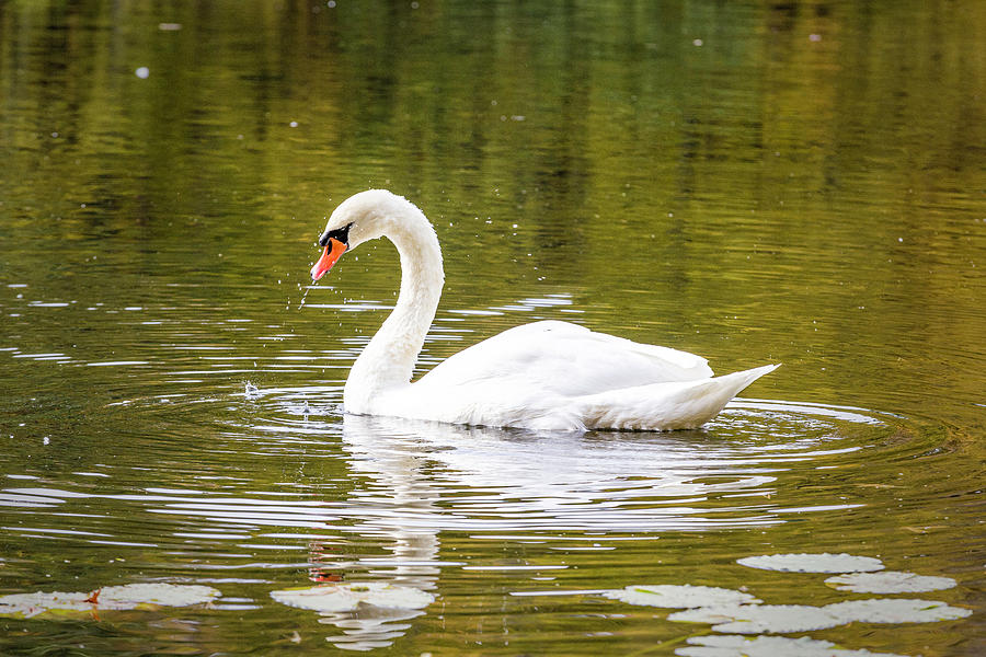 Swan in Autumn by Fran Gallogly