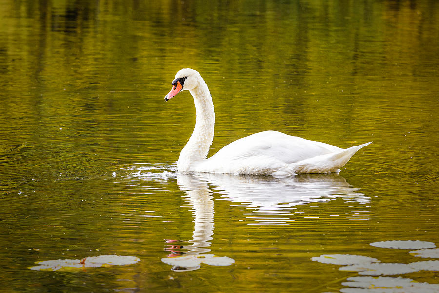 Swan on Colorful Autumn Pond by Fran Gallogly