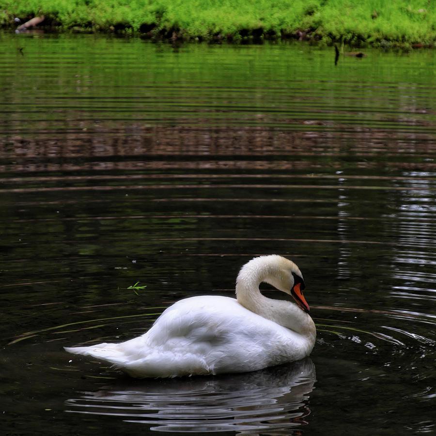 Swan Ripples by George Taylor