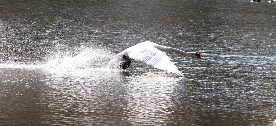 Swan Running On Water by Karen Silvestri