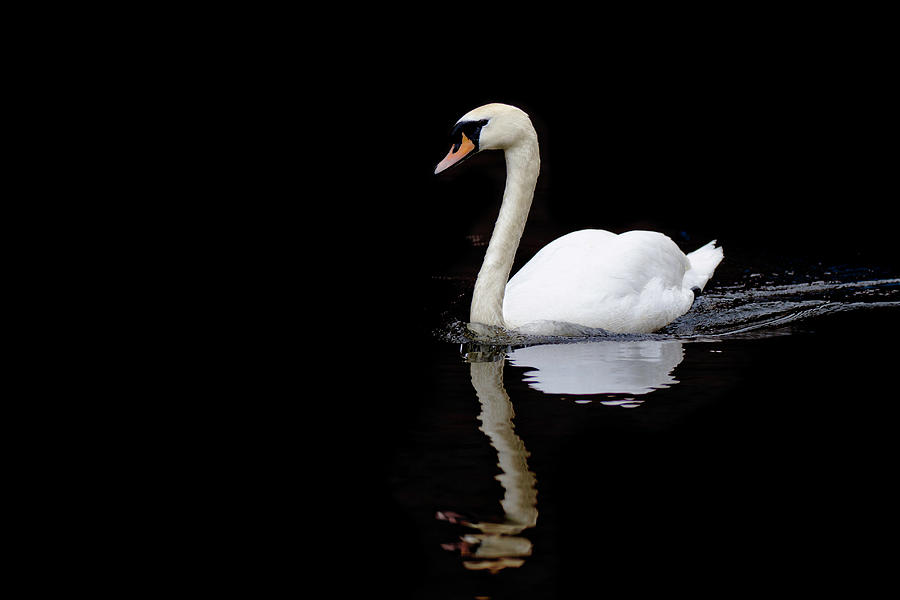 Swan Swimming In Lake Photograph by Alexturton