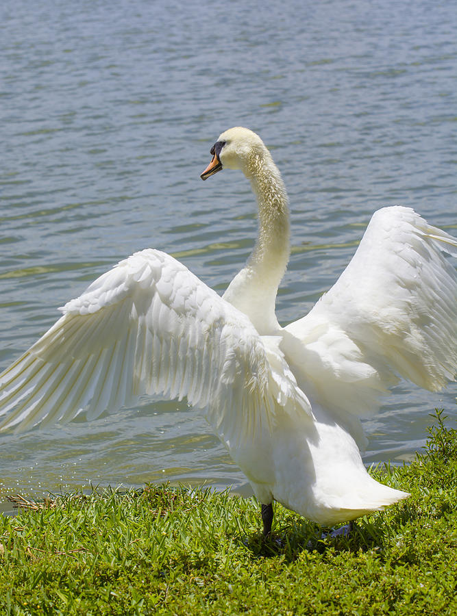 Swan wings by Zina Stromberg