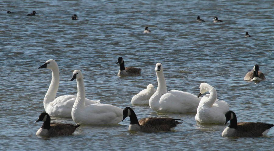 Swans And Canadian Geese 14 Photograph