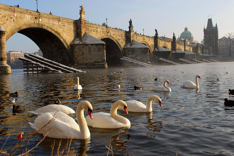 Swans And Charles Bridge Photograph by Dibrova
