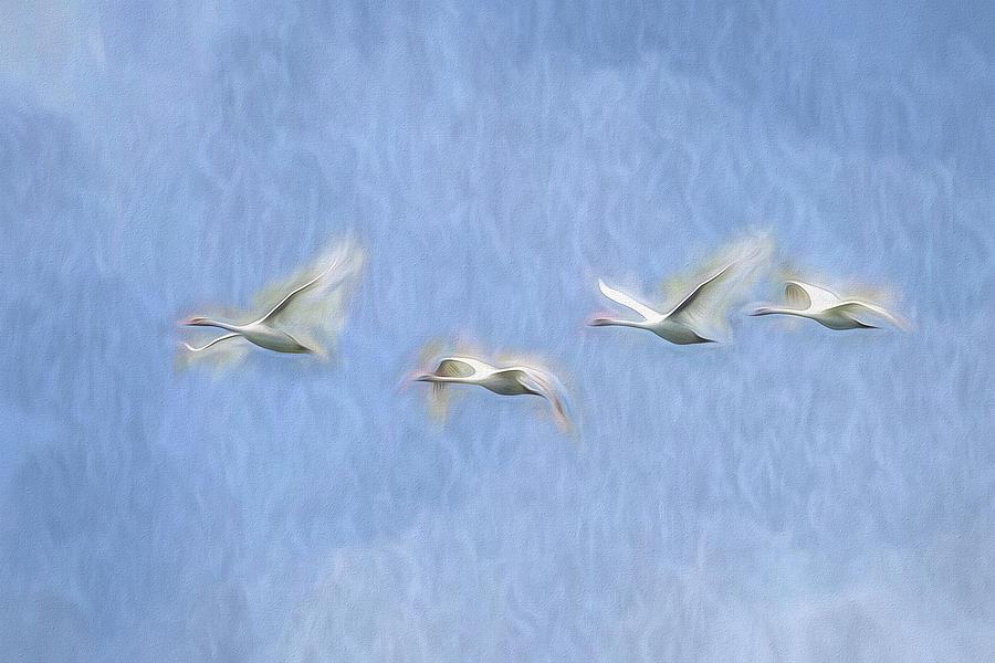 Swans Flight Art by David Pyatt