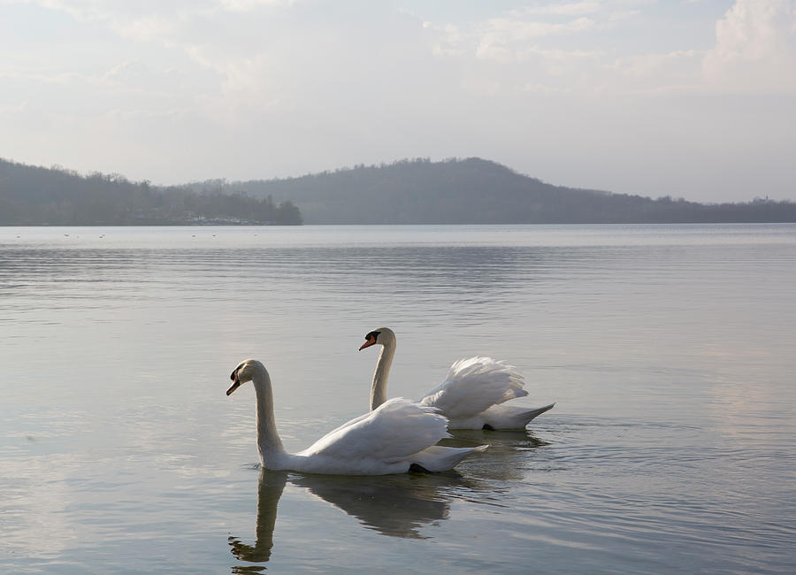 Swans Float Along Tranquil Lake Waters Photograph by Ascent Xmedia