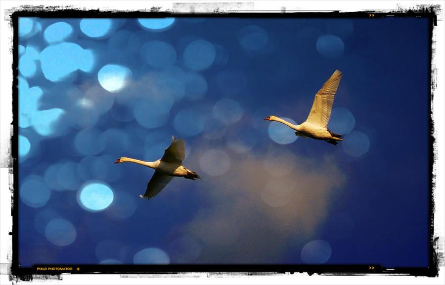 Swans fly-by by Luc Van de Steeg