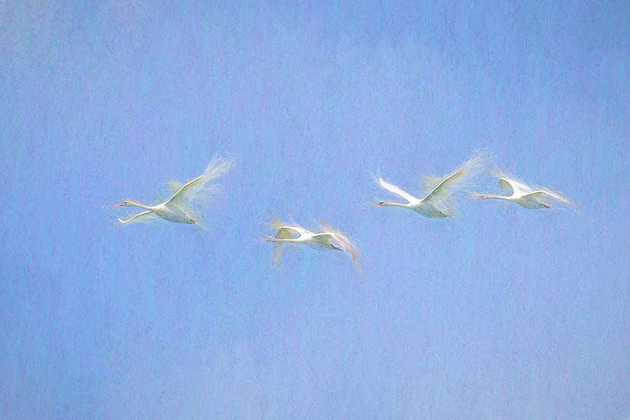 Swans Flying Art Photograph