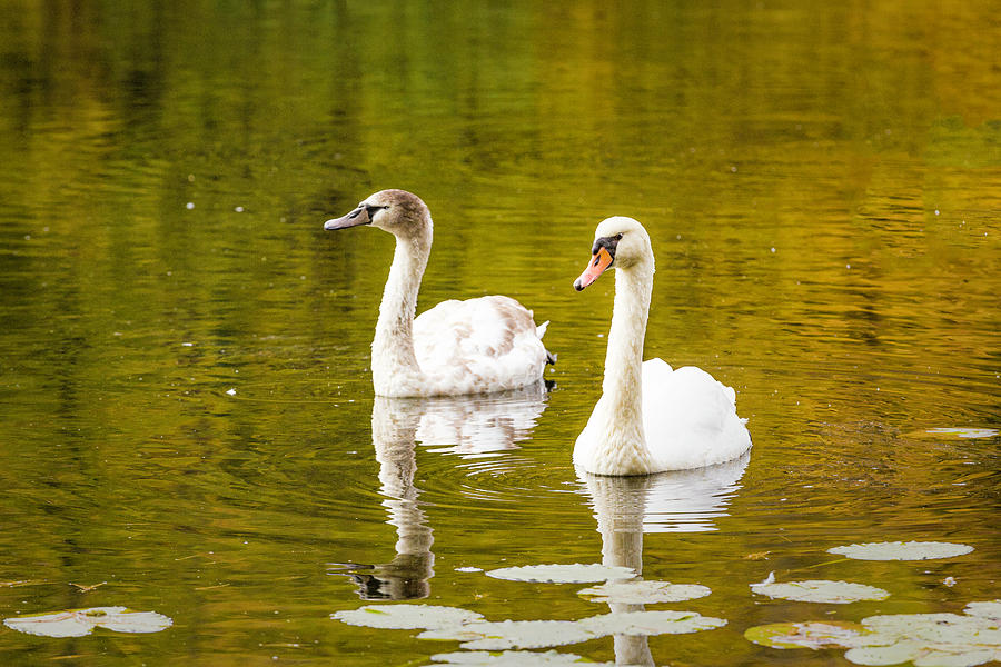 Swans in Autumn by Fran Gallogly