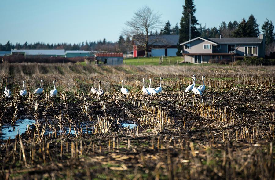 Swans in Farm Field by Tom Cochran