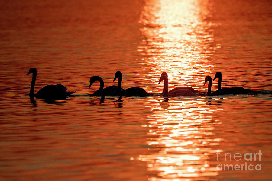 Swans in the lake and beautiful sunset by Odon Czintos