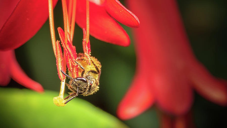 Sweat Bee on Honeysuckle by Brian Caldwell