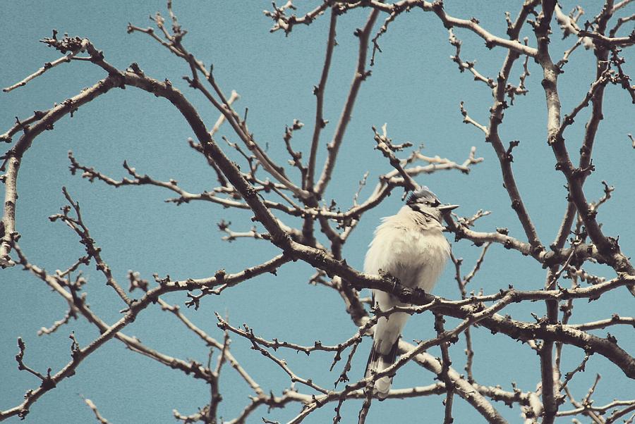Sweet Blue Jay by The Art Of Marilyn Ridoutt-Greene