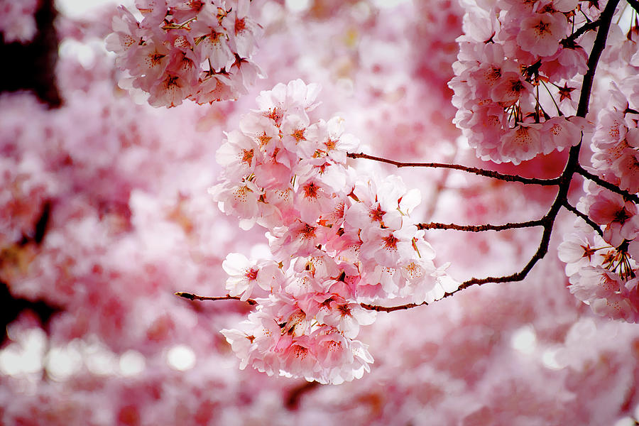 Sweet Cherry Blossoms by Greg Fortier