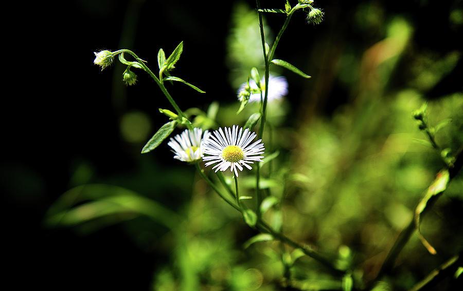 Sweet Daisy by Milena Ilieva
