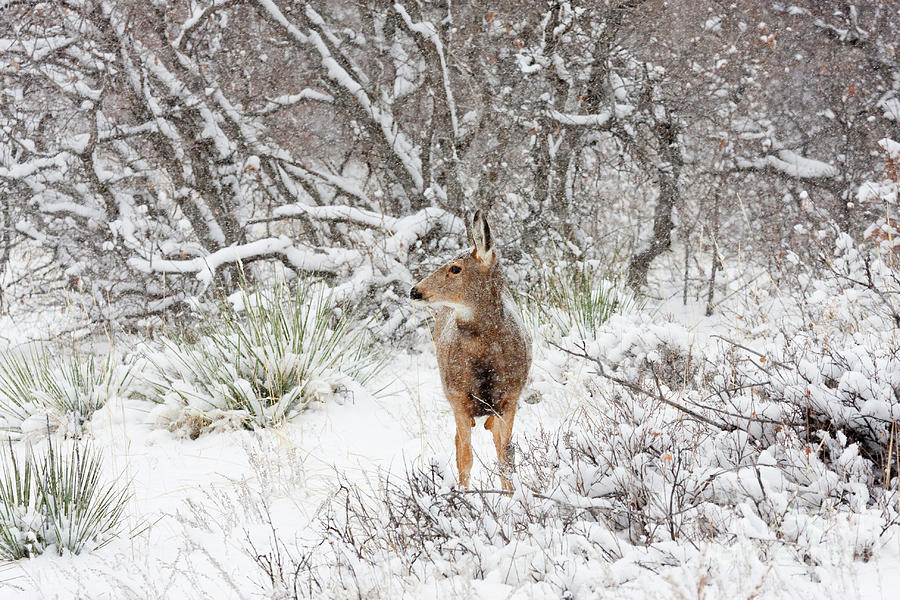 Sweet Doe In The Snow Photograph