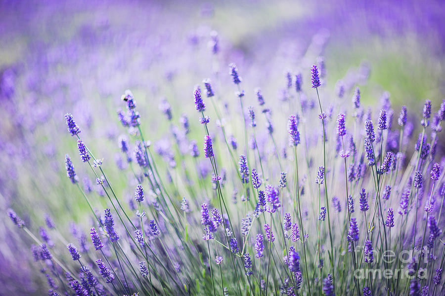 Sweet Lavender Photograph