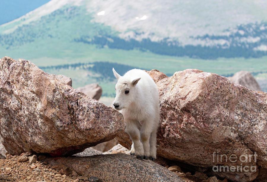 Sweet Mountain Goat Kid Photograph