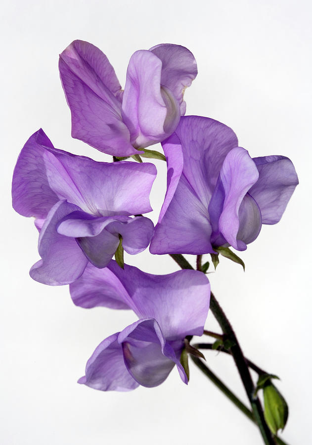 Sweet Pea Photograph by Brianhaslam