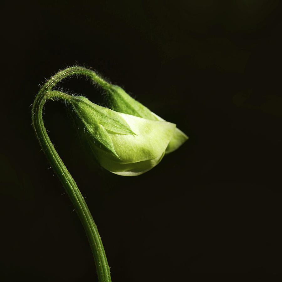 Sweet Peas Photograph - Sweet Pea Buds by Cheryl Day