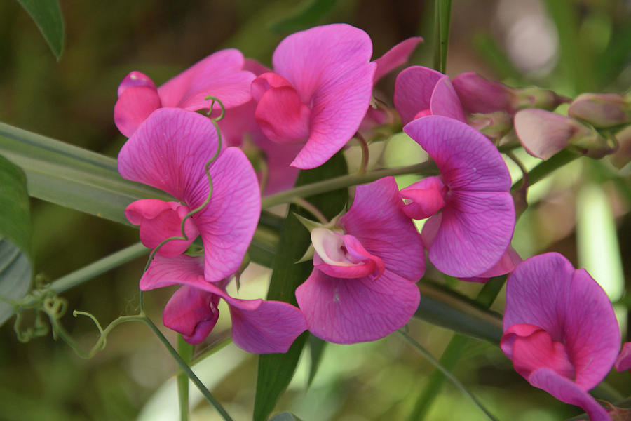 Sweet Peas by Whispering Peaks Photography