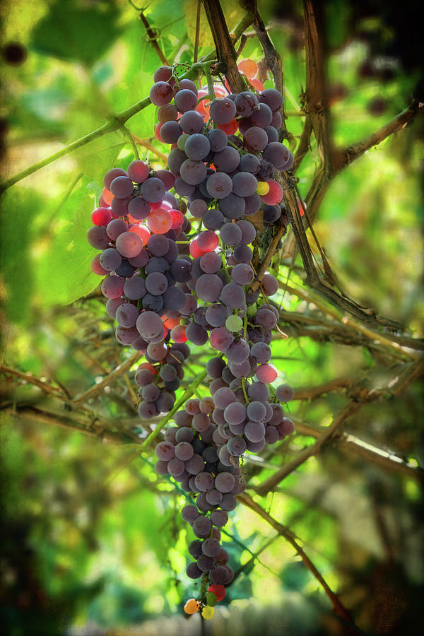 Sweet Red Grapes by James BO Insogna