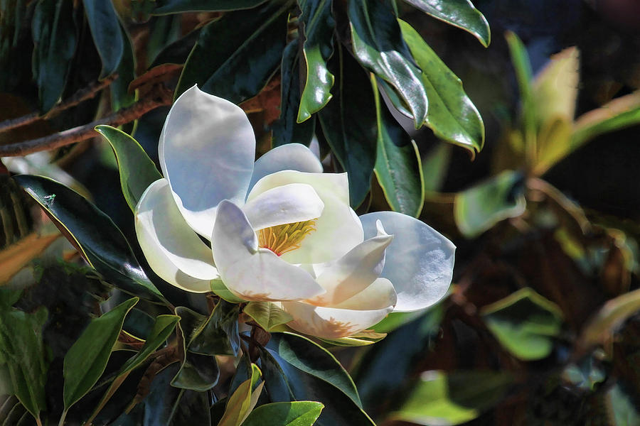 Sweet Southern Magnolia by HH Photography of Florida