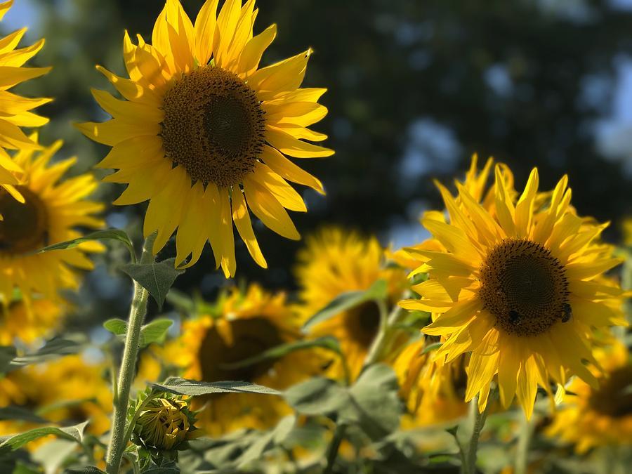 Sunflowers Photograph - Sweet Sunflowers by Lora J Wilson