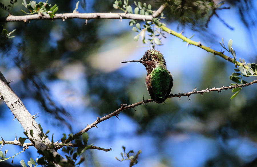 Sweetest Anna's Hummingbird enjoying the Sun 1 by Dawn Richards