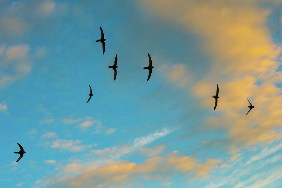Animal Photograph - Swift Flock Screaming In Flight, Monmouthshire, Wales, Uk by Phil Savoie / Naturepl.com
